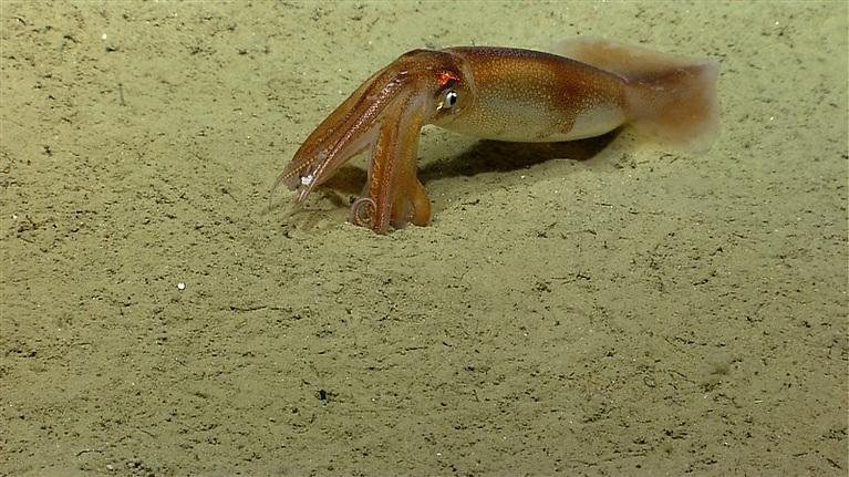 Oceanic squid on the bottom of the ocean floor with relatively close-up view of tentacles and suckers.