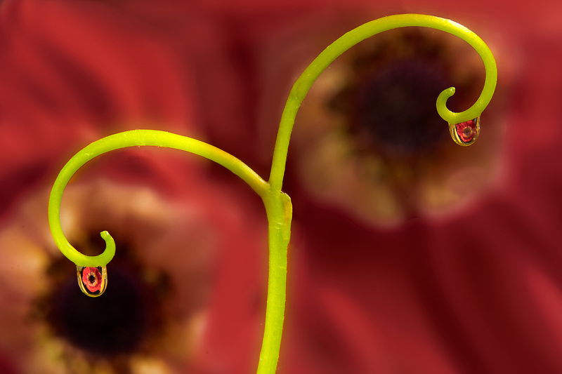 Water drops on vine refracting anemone flower.