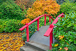 Kubota Garden, Seattle, WA: Moon Bridge in autumn with big leaf maple leaves floating in the pond.