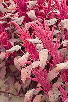 Amaranthus cruentus 'Velvet Curtains' TN21