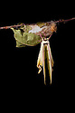 Indian Moon Moth / Indian Luna Moth {Actias selen} emerging from cocoon.  Captive. Sequence 16 of 24. website