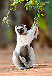 Verreaux's Sifaka (Propithecus verreauxi) sitting in spiny forest. Berenty Private Reserve, southern Madagascar.