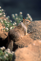 Ground squirrel on rock next to flowers on coast at Morro Bay, California.