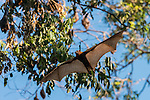 Little Red flying fox in flight surrounded by the colony. The little red flying fox (Pteropus scapulatus) is a species of megabat native to northern and eastern Australia. With a weight of 280–530 grams it is the smallest flying fox in mainland Australia.  It has the widest range of all the species, going much further inland than the larger fruit bats. Its diet primarily consists of nectar and pollen of eucalypt blossoms, the pollination of which it is largely responsible. The little red flying fox is nomadic, and can be found in large groups of up to a million individuals. This species gives birth six months later than the other mainland flying fox species, in April and May.