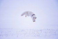 arctic fox, Vulpes lagopus, hunting rodents on the North Slope of the Brooks Range, Arctic Alaska