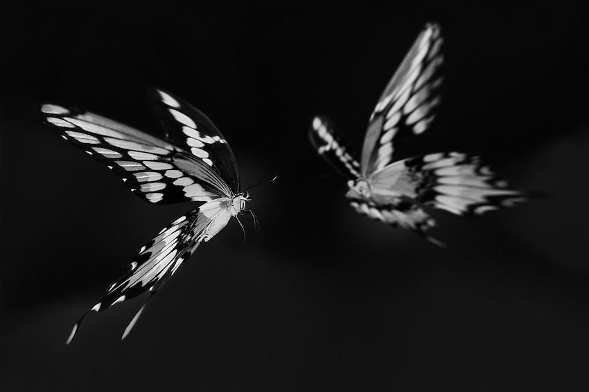 Giant Swallowtails on a 'Collision Course'.<br /> I used Nik Silver to produce a highly contrasted B&W, then distort/pinch in Adobe.<br /> My goal was to stretch out the wings to the rear, accentuating the near collision 'speed' of movement.