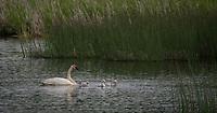 Trumpeter Swan family @ Anchorage's Potter Marsh wtih morning sunlight