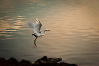 A Snowy egret takes flight over the faint orange waters at an East Bay park along San Francisco Bay.