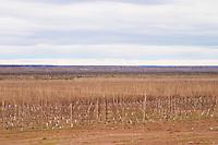 Vineyard in winter. Bodega Valle Perdido (previously Arquen) Winery, Neuquen, Patagonia, Argentina, South America