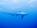 A thresher shark swims up to avoid the divers down near the reef, where we are all waiting to see ... thresher sharks.  (Above Monad Shoal, near Malapascua Island, Central Visayas, the Philippines.)