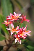 Frangipanier rouge (Plumeria rubra), Nouvelle-Calédonie