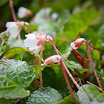Oconee-bells (Shortia galacifolia), Garden in the Woods, Framingham, MA, USA