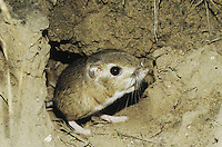 Ord's Kangaroo Rat (Dipodomys ordii), adult leaving burrow, Starr County, Rio Grande Valley, Texas, USA
