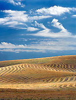 Cut rows of lentil beans. The Palouse. Washington