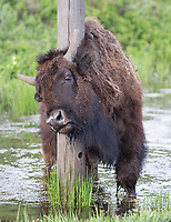 Bison often use man-made posts and signs to tackle an itch.