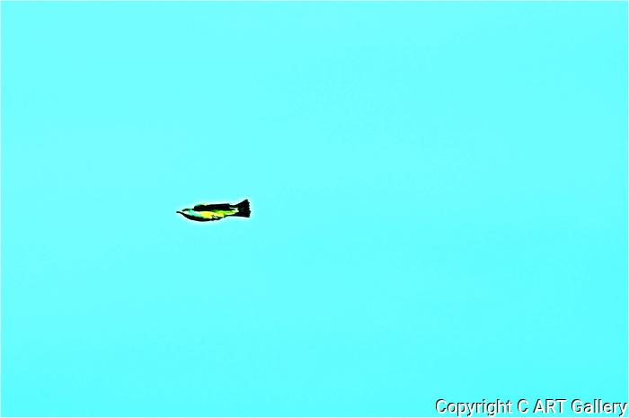 Osprey 1, Upper Newport Bay, CA.