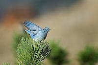 Bluebird, Rocky Mountain National Park, Colorado