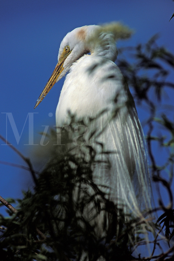 Great Egret (Casmerodius albus) in breeding plumage, onthe nest, south Florida