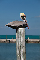 Brown Pelican, Pelecanus Occidentalis, Birds, Florida Keys