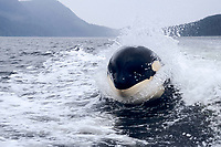 orca killer whale, Orcinus orca, Luna L98 surfing in wake of boat, 5 year old lone male, Nootka Sound, Vancouver Island, British Columbia, Canada, Pacific Ocean