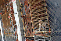 Baby Long Tailed Macaque monkeys at the Conghua Yueyuan Laboratory Animal Breeding Center, Guangdong Province, China. The center breeds monkeys mostly for export to the US and Europe where pharmaceutical and cosmetic companies use them vivisection....SINOPIX PHOTO