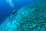 A diver swims over a completely destroyed reef due to bomb or dynamite fishing, Spice Islands, Maluku Region, Halmahera, Indonesia, Pacific Ocean