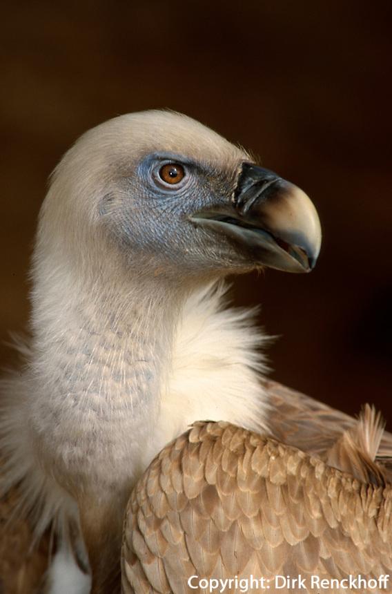 Spanien, Kanarische Inseln, Teneriffa, Gänsegeier (Gyps fulvus)  im Parque Las Aguilas de Teide