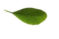 Gewöhnliche Berberitze, Echte Berberitze, Sauerdorn, Berberis vulgaris, Common Barberry, European barberry, Le Vinettier, l'Épine-vinette. Blatt, Blätter, leaf, leaves