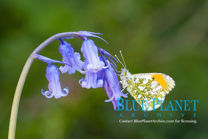 Orange-tip Butterfly (Anthocharis cardamines), adult male, resting on Bluebell (Hyacinthoides non-scripta), flowers in garden, England, United Kingdom, Europe