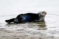 Southern sea otter or California sea otter, Enhydra lutris nereis, hauling out onto beach, Monterey Bay National Marine Sanctuary, Monterey, California, USA, Pacific Ocean