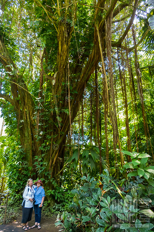 Two women stand in front of a banyan tree at Hawaii Tropical Botanical Garden near Onomea Bay in Papa'ikou near Hilo, Big Island of Hawai'i.