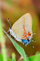 two-headed butterfly, or gray hairstreak, Strymon melinus, Selva Verde Nature Reserve, Rio Sarapiqui region, Heredia, Costa Rica