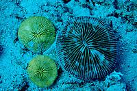 Fluorescent Mushroom coral,Ctenactis echinata, Indonesia, Komodo National Park