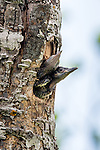 Northern flicker nestlings