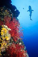The whitetip reef shark, Triaenodon obesus, is a common shark of healthy Indo-Pacific coral reefs. Osprey Reef, Coral Sea Marine Park, Queensland, Australia, Coral Sea, Pacific Ocean (de)