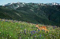Black-tailed deer fawn (Odocoileus hemionus) in subalpine meadow, Pacific Northwest, summer.