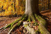Moos an einem Buchenstamm, Grumsiner Forst, Weltnaturerbe der UNESCO, Angermünde, Uckermark, Brandenburg, Deutschland