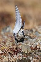 "Adult Rock Sandpiper (Calidris ptilocnemis) in breeding plumage ""wing waving"" to attract the attention of its mate. Seward Peninsula, Alaska. June."