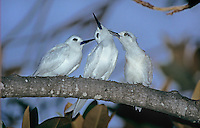 White Tern, Gygis alba, adult and young preening partner, Honolulu, Hawaii, USA, August 1997