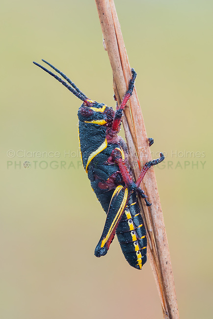 A dew-covered Eastern Lubber Grasshopper (Romalea microptera) nymph (late instar) perches on a vegetation.