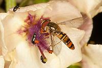 Hain-Schwebfliege, Gemeine Winterschwebfliege, Winter-Schwebfliege, Hainschwebfliege, Hain - Schwebfliege, Parkschwebfliege, Episyrphus balteatus, Blütenbesuch