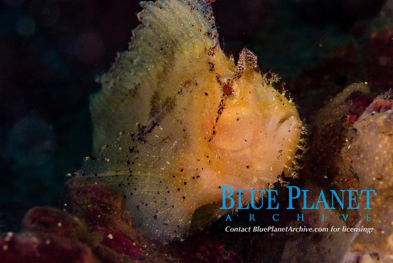 Yellow leaf scorpionfish - taenianotus triacanthus, Sulawesi, Indonesia
