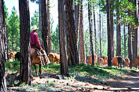 Western cowboy wearing red shirt and white cowboy hat, driving cattle through tall pine trees in the California Sierras