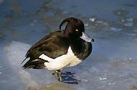 Reiherente, Reiher-Ente, im Winter auf Eis stehend, Aythya fuligula, tufted duck
