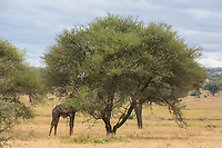Tanzania. Tarangire National Park. Maasai Giraffe (Giraffa camelopardalis tippelskirchi) Eating an Acacia Tree.