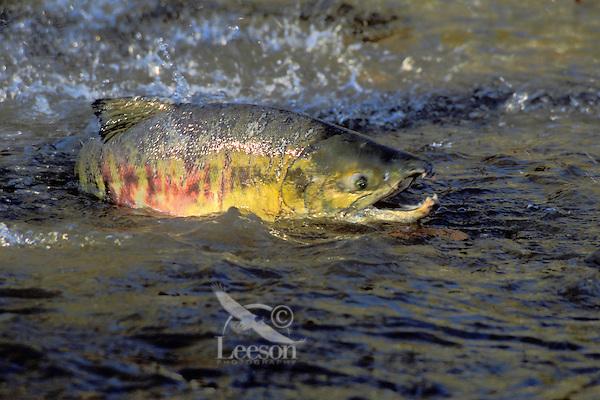 "CHUM SALMON aka ""dog"" salmon..Range from California to Arctic Coast..Migration to fresh water spawning grounds..(Oncorhynchus keta)."