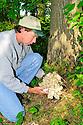 00792-002.03 Hen-of-the-Woods Mushroom: Man has cut mushroom from typical location at base of bur oak tree.