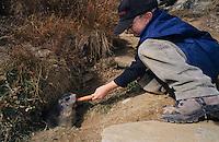 Alpine Marmot, Marmota marmota, kids feeding marmots with carrots, Saas Fee, Switzerland, September 2003