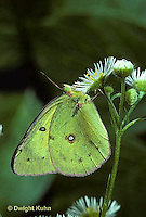 BW02-001z  Butterfly - Cabbage White Butterfly adult - Pieris rapae