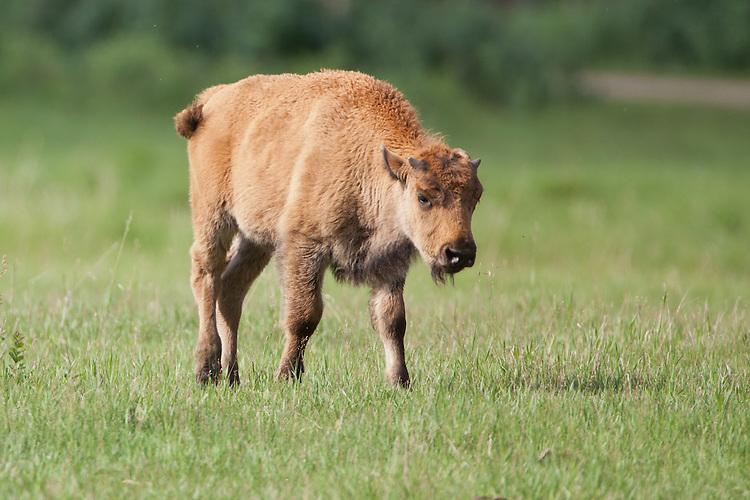 Bison calf walking in a field
